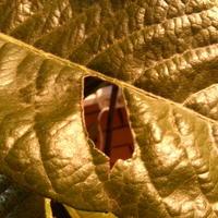 Кто-то грызет листья мушмулы японской, части листьев становятся сухими и хрупкими. Что делать?