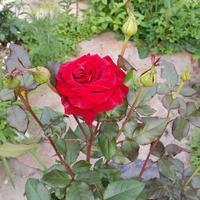 Подскажите название розы и к какой группе принадлежит?