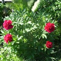 В первый год у древовидного пиона был 1 цветок, на 2-2 цветка, на 3-3 цветка, прошлый год 4 цветка. Почему такая закономерность?