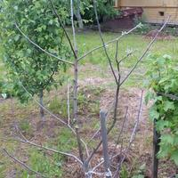 Яблоня застыла в таком состоянии, не распускаются листья. В чем может быть причина?
