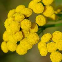 Пижма - велесова трава: полезная и декоративная