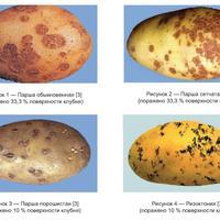 Как готовить семенной картофель к хранению - изыскания на досуге