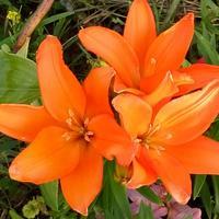 Декоративные и цветущие растения для регионов, расположенных в климатической зоне 3-4 (1 часть от А до Я)