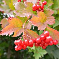 Кто ж те ягоды не знает? От простуды помогают, на кустах они висят и, как маков цвет, горят. Калина!
