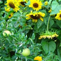 Солнечные цветы (лирическое отступление)