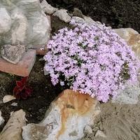 Как называются эти почвопокрывающие?