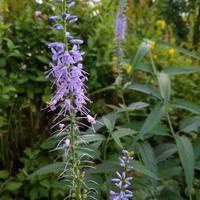 Вероника длиннолистная - голубоглазая гостья в саду