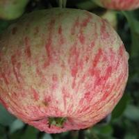 Подскажите, что за сорт яблок