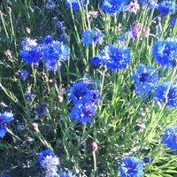 Простые, милые цветы...
