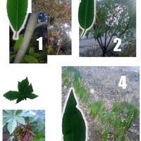 Помогите идентифицировать еще пару деревьев
