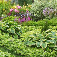 Хосты: особенности и идеи использования в саду
