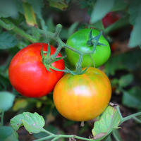 "Победим фитофтору: выбираем ""правильные"" сорта томатов"