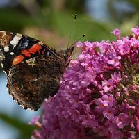 Буддлея Давида, или Бал бабочек