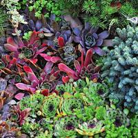 Вечно зеленое молодило: виды, применение, размножение и уход
