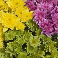 Хризантемы: посадка, выращивание, уход