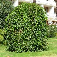 Плакучие лиственные древесные для дачи