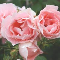15 лучших сортов роз грандифлора