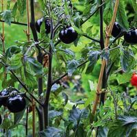 Какого цвета черные томаты: обзор сортов