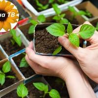 Как выбрать семена и вырастить рассаду?