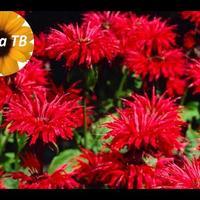 Монарда: чай и цветок! Все о растении. Дача ТВ