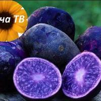 Что такое фиолетовый картофель?