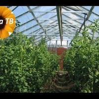 Можно ли выращивать огурцы и помидоры в одной теплице?