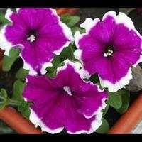 Как высаживать семена петунии?