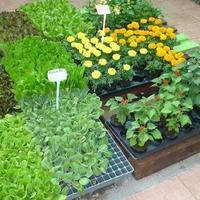 Как ухаживать за цветочной рассадой?