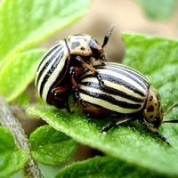 О колорадском жуке и других вредителях
