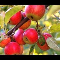 Сорта яблок. Как ухаживать за яблоней?