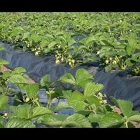 Укоренение клубники в воде. Как выращивать усы клубники?