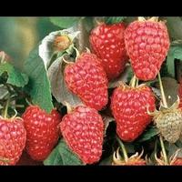 Как собрать большой урожай крупной малины? Ремонтантные сорта