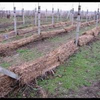 Как укрывать виноград на зиму?
