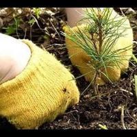 Когда сажать хвойные? Осенние посадки