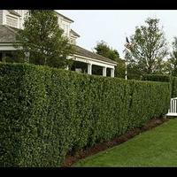 Как вырастить живую изгородь на даче?