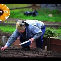 Как сажать картошку и морковь правильно?