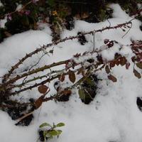 На улице второй день снег с дождем, температура до +4. Как поступить с розами?