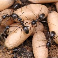 Как избавиться от садовых муравьев в теплице?