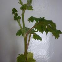 Зацветает черенок винограда. Что с ним делать?