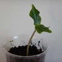 Можно ли при пересадке кобеи заглублять ее до семядольных листиков?