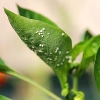 Как избавиться от белокрылки в теплице?