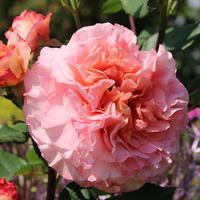 Роза 'Августа Луиза' - аристократка с чудесным ароматом