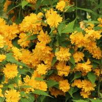 Керрия японская 'Пленифлора' — весенние звездочки моего сада