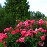 Ещё раз про любовь.... к розам. Rosarium Uetersen (Розариум Ютерсен)