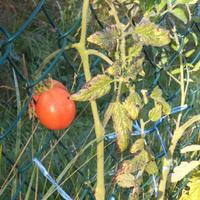Синие края листьев у томатов. В чем причина?