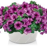 Петунии Русские красавицы - цветы из сказки