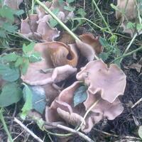 Помогите определить, что за грибы