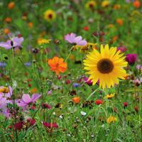 Накроем поляну, или Газонные цветочные смеси для вашего сада