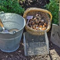 Как защитить луковицы от полевок
