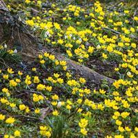 Золотые россыпи весны: эрантисы, или весенники